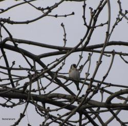 chardonneret-hiver-1.jpg